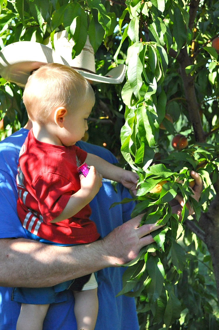 Spencer picking peaches